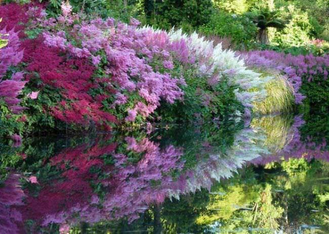 Астильбы – теневыносливые растения, но предпочитают частичную тень или полутень