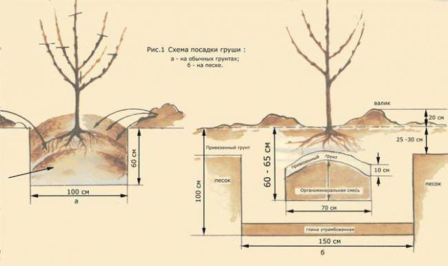 груша потаповская описание фото отзывы