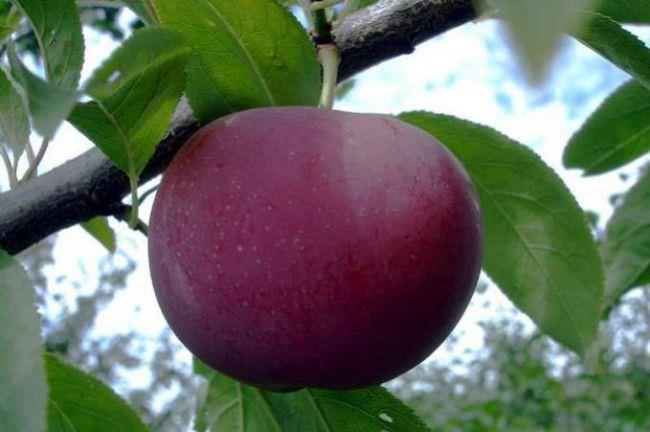 Шарафуга дерево посадка і догляд