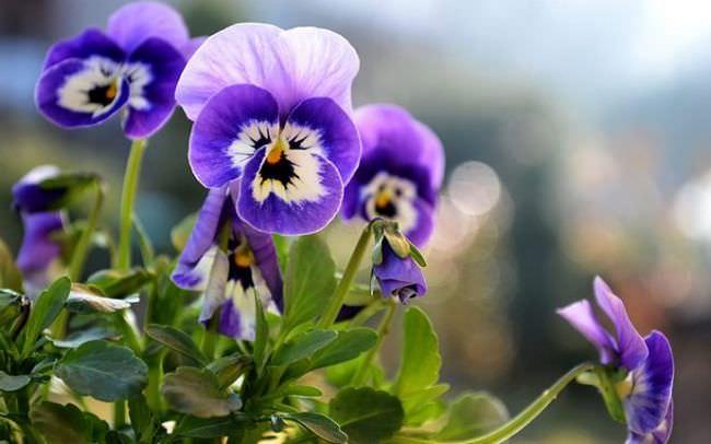 Анютины глазки цветут с весны до поздней осени