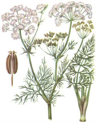 Плоды тмина используются в качестве лекарственного сырья во многих странах мира