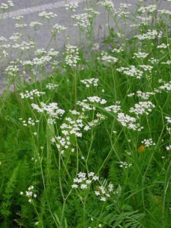 Тмин, по-другому называемый анис полевой, относится к семейству Сельдерейных
