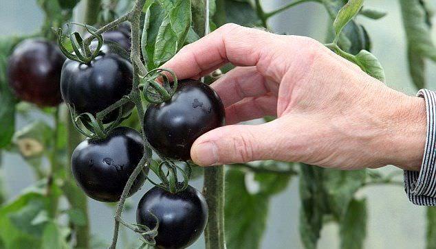 Сорта черных томатов