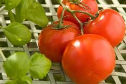 Лучшие низкорослые сорта помидор для открытого грунта