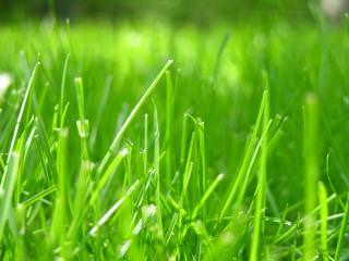 Как выбрать газонную траву для посева