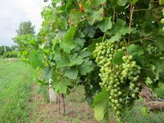 Как сделать опору для винограда своими руками (10 фото)