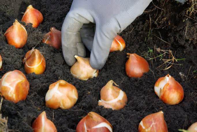 Когда наступает осень, цветоводы Сибири готовятся к посадке тюльпанов