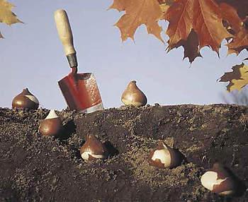 Высадка тюльпанов осенью