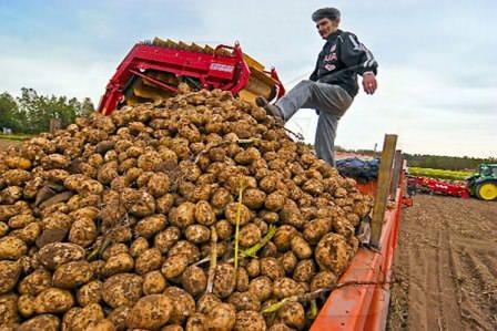 В Ингушетии вышли на рекорд- 40 тонн картофеля с гектара