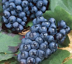 Сорт винограда Вэлиант: фото и описание