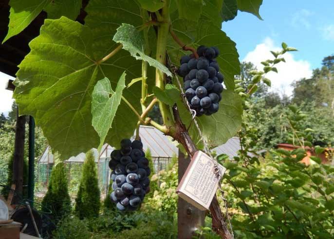 Вегетационный период винограда «Вэлиант» может варьироваться от 130 до 138 дней