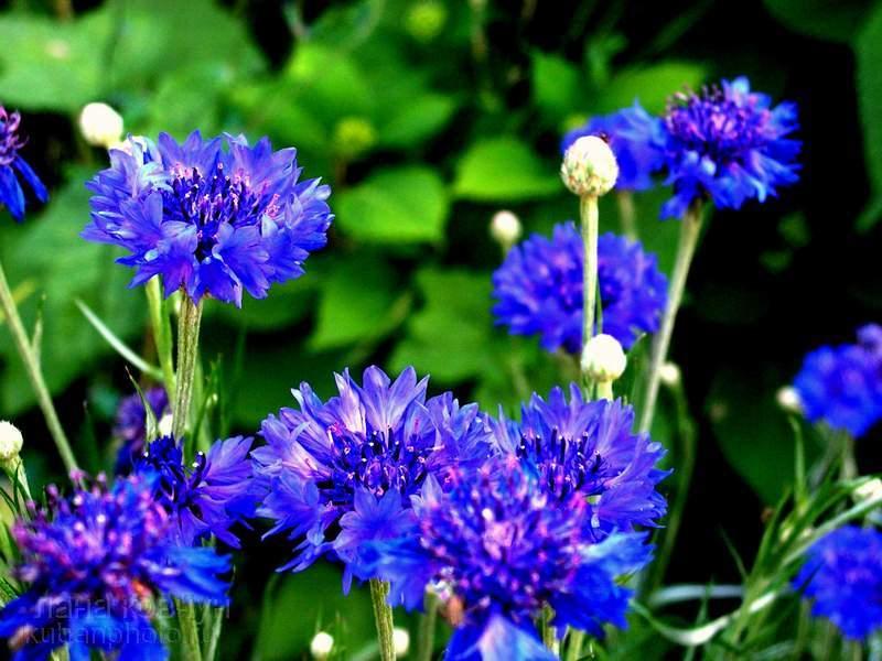 Василек синий (Centaurеа cyanus L. Цваеты васильки.  Просмотреть все записи в Лекарственные растения.