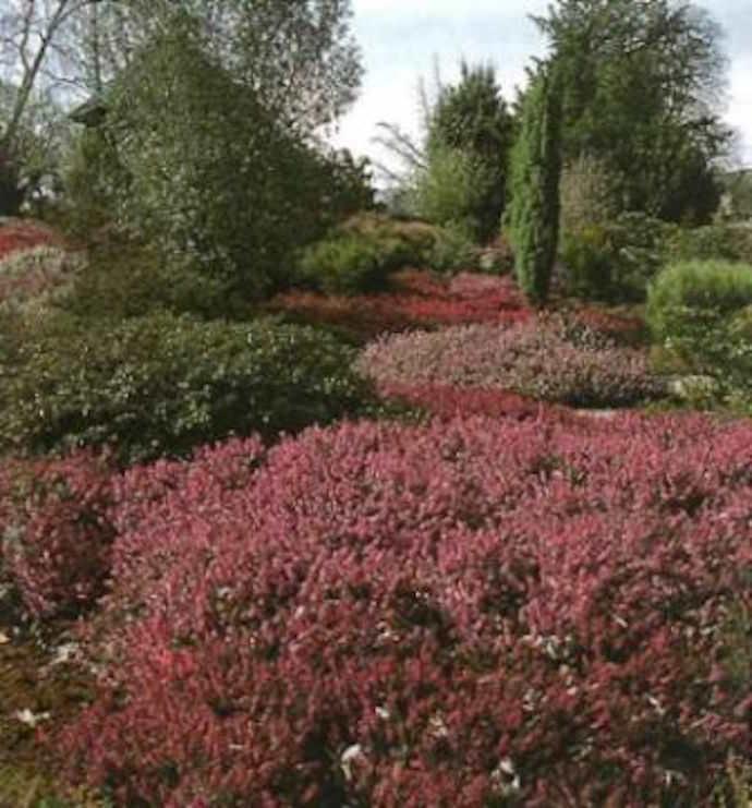 Вересковый сад в ландшафтном дизайне