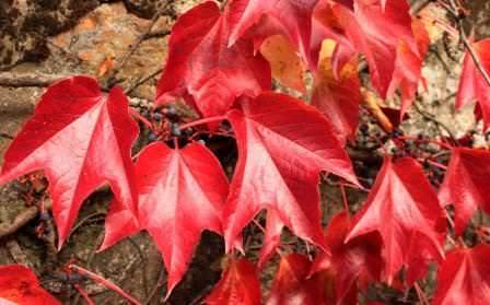 Ampelopsis brevipedunculata – уссурийский виноградовник, хорошо подходит для внутреннего декорирования