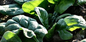 Выращивание шпината Матадор