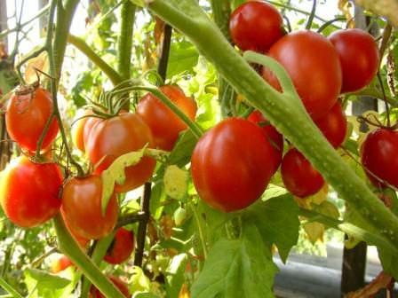 Выращивание томатов в теплице: как выбрать самый лучший сорт?