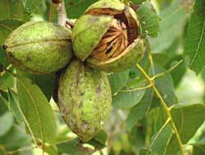 Как посадить и вырастить на даче грецкие орехи?