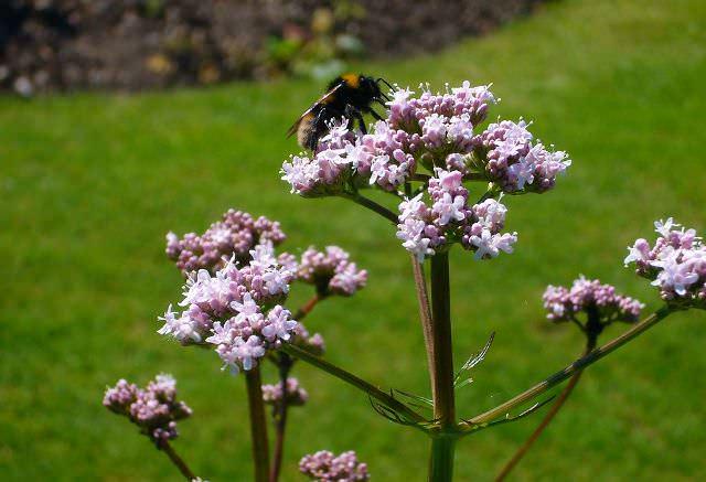 Для лекарственных целей используется растения, которые были собраны весной или, что чаще, осенью после периода вегетации