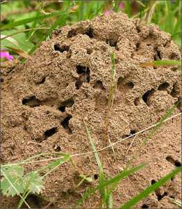 Вредят ли муравьи огороду