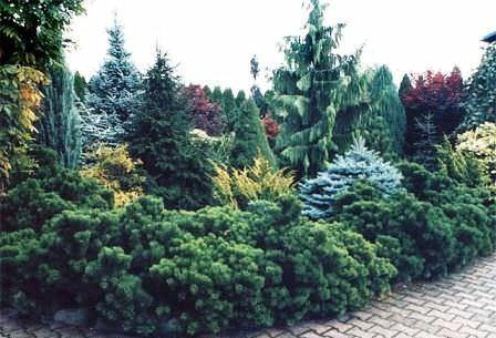 Вдоль забора или в качестве живой изгороди лучше подходят вечнозелёные растения