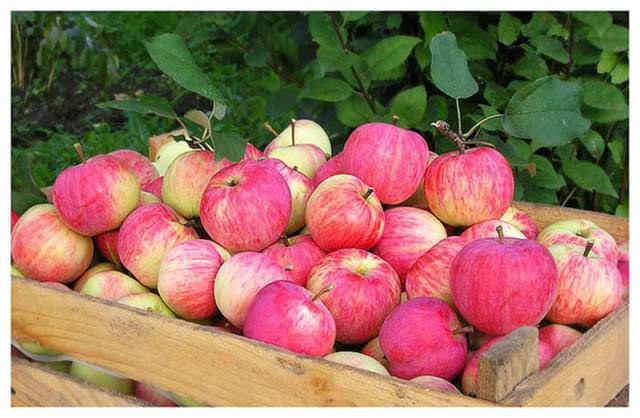 Заготавливая на хранение яблоки из вашего сада, вы всегда будете знать, что в ваш организм не попадут никакие химические, вредные вещества, а вкус и аромат продуктов будет намного лучше