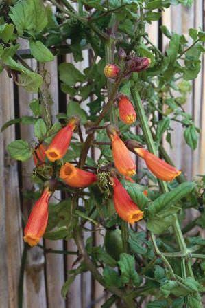 Узкотрубчатые цветы формируют кистевидные соцветия длиной до 15 см