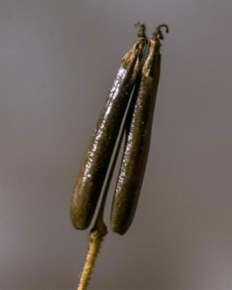 В августе появляются первые плоды, напоминающие по форме мелкий перец