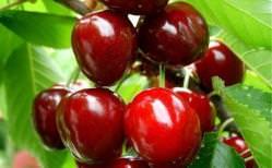 Описание вишни сорта Дюк (9 фото)