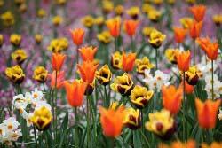 Что посадить вместе с тюльпанами
