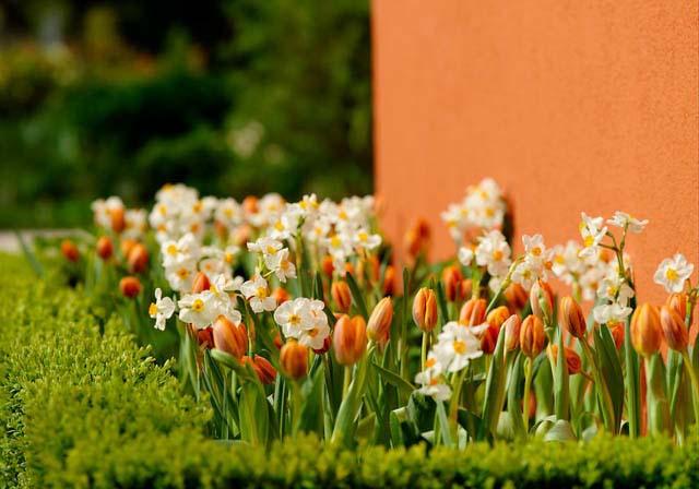 Что посадить рядом с тюльпанами на участке
