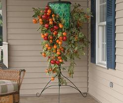Выращивание помидоров в ведрах