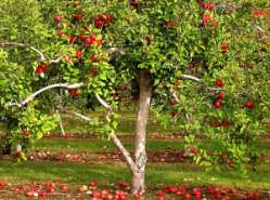 Схема формирования кроны яблони