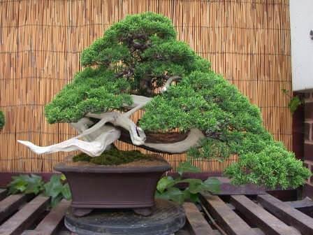 Японский бонсай предусматривает выбор крохотных копий больших собратьев