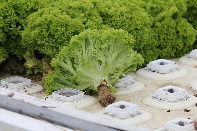 Отсутствие почвы делает возможным легко поддерживать чистоту в помещении, и именно по этой причине выращивать зелень на гидропонике очень удобно дома