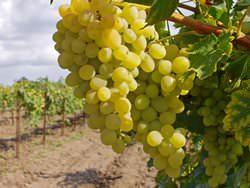 Обрезка винограда в мае