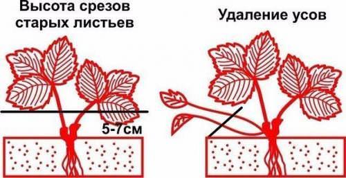 Ранней весной и осенью необходимо удалить с растения старые и сухие листья