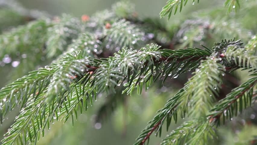 Рекомендуется проводить весеннее и осеннее дождевание хвойников, что позволяет удалить грязь с надземной части растений