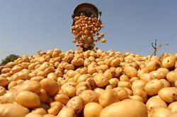 Что влияет на урожайность картофеля с 1 га