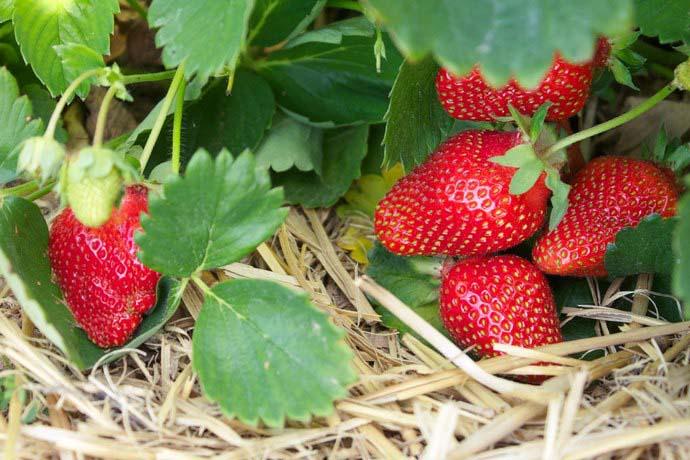 Выращивать садовую землянику сорта «Флориан F1» достаточно легко