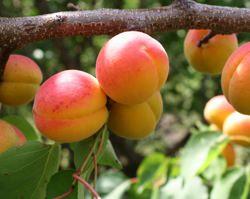 Описание абрикоса Чемпион севера