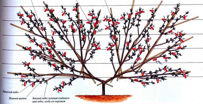 Обрезка персика Кардинал проводится согласно стандартной схем