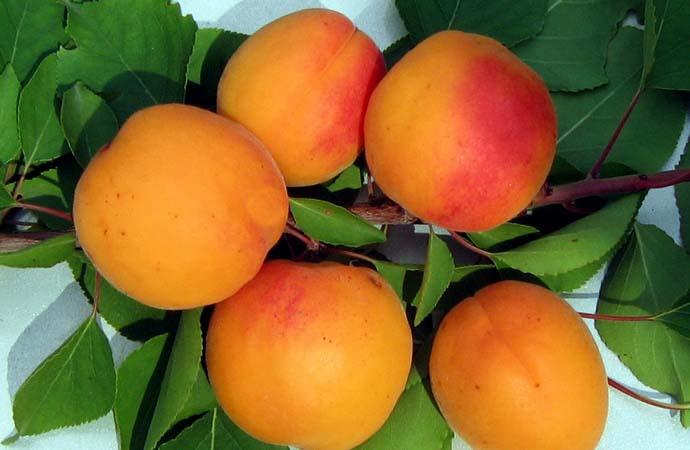Абрикос «Красавчик» в период плодоношения вступает на второй год