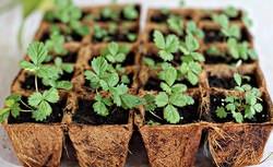 Технология выращивания клубники на саженцы