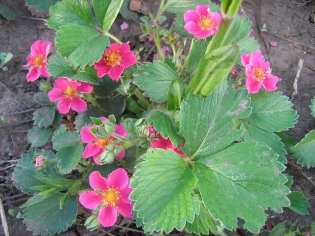 Цветок листья как у клубники