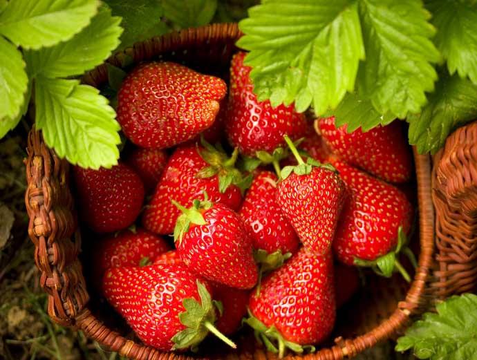 Для сорта «Флориан F1» характерно обильное плодоношение с мая по октябрь