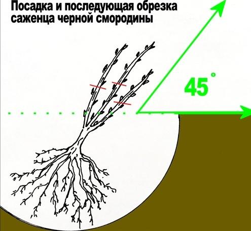 Смородина Черный жемчуг: посадка, уход, фото сорта, отзывы, описание