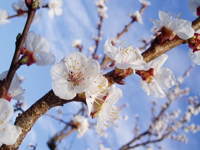 Цветение абрикосов приходится на период с марта по апрель включительно